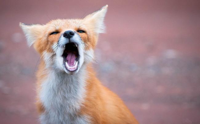 Фото прикол  про лисицю та позіхання