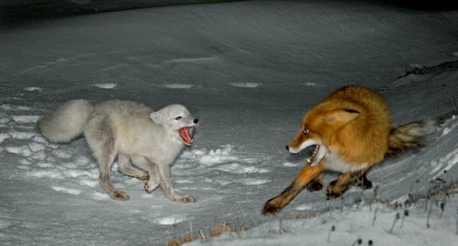 Фото прикол  про лисицю та песця