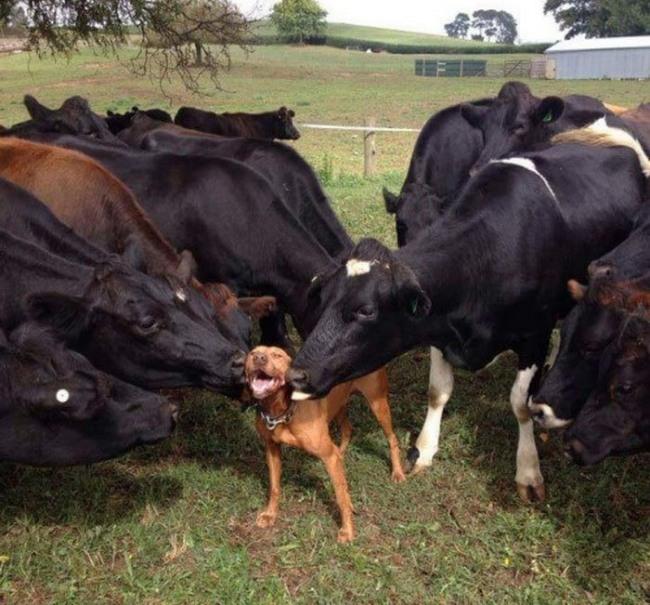 Фото прикол  про собак та корову