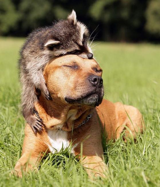 Фото прикол  про єнотів та собак